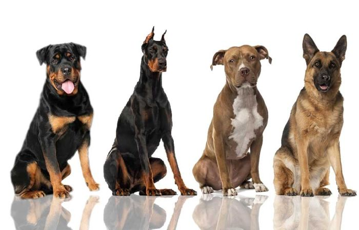 Best Dogs For Security And Family In India